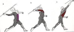 Sershoulderbasicmuscle