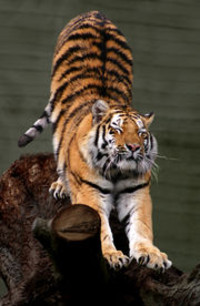 Tigerstretching