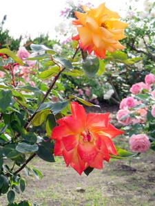 Rose5orange
