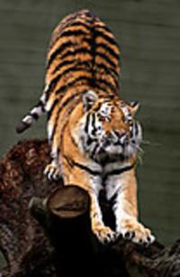 Siberian_tigerstretching