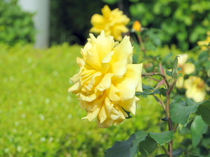Rose1yellow