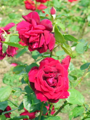 Rose2red