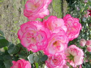 Rose3pink