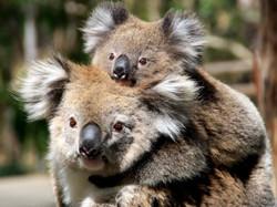 Koalamotherbaby_